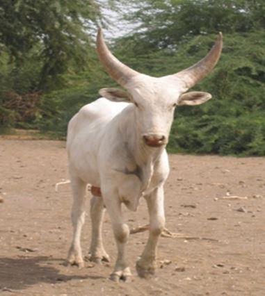 Taurin de la race Kouri originaire la région de Diffa