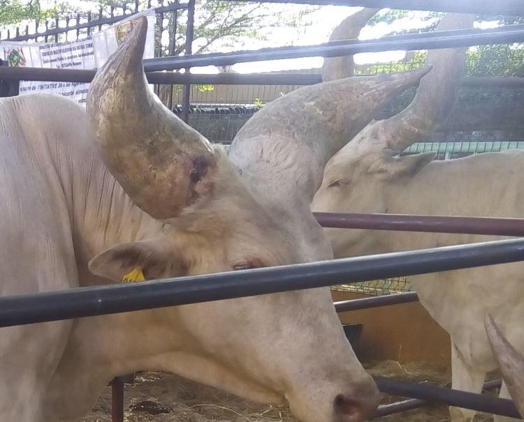 Grosses cornes du taurin race Kouri
