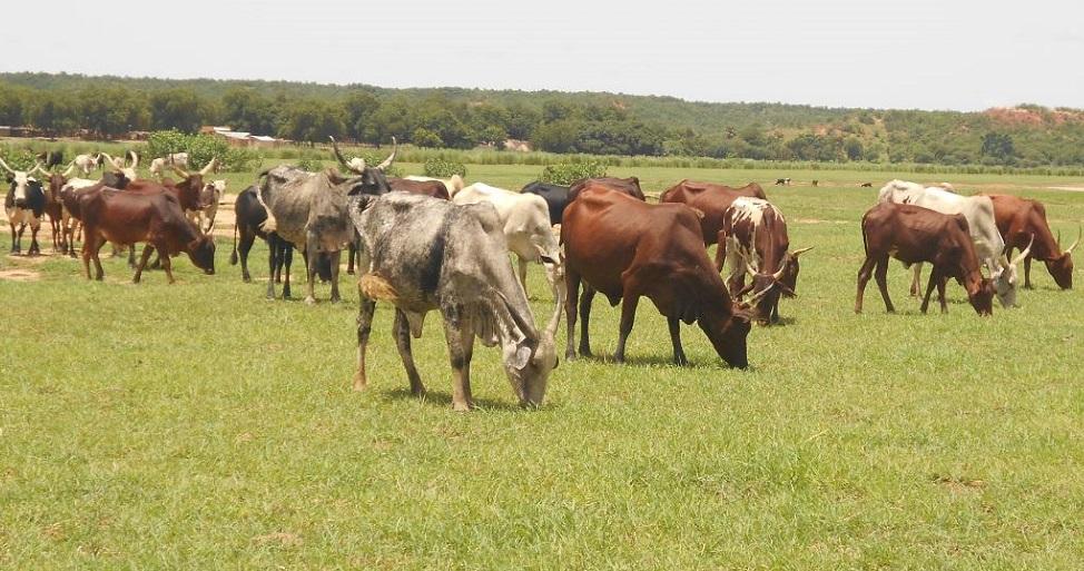 Troupeau de bovin en paturage dans le département de Dogondoutchi