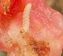 Larve de Tuta absoluta dans un fruit de tomate