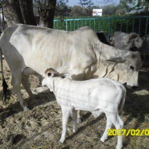 vache et veaux de la race Goudali