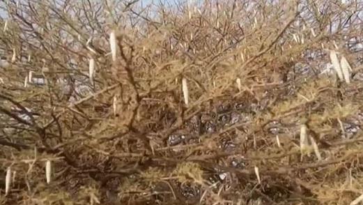 Cocons blancs du lépidoptère accrochés aux tiges d'Acacia radiana