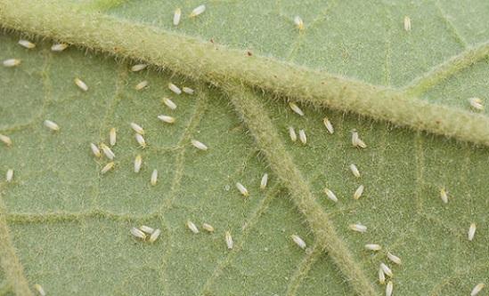 Adultes de mouche blanche sur feuille d'aubergine