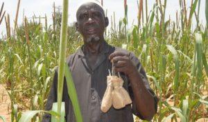 Habrobracon hebetor au Niger