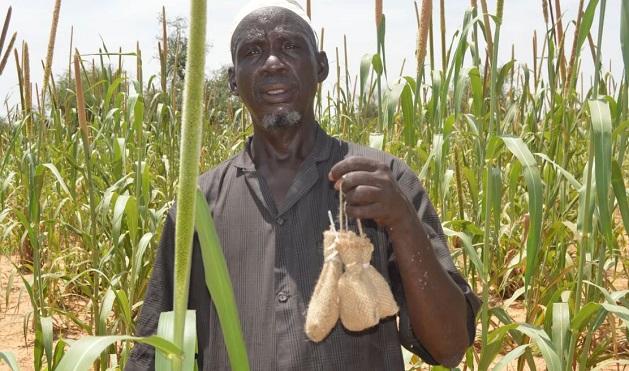Sac de lâcher de Habrobracon hebetor en milieu paysan au Niger