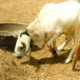 Mouton Ara Ara