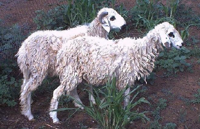 Mouton de la race ovine Koundoum