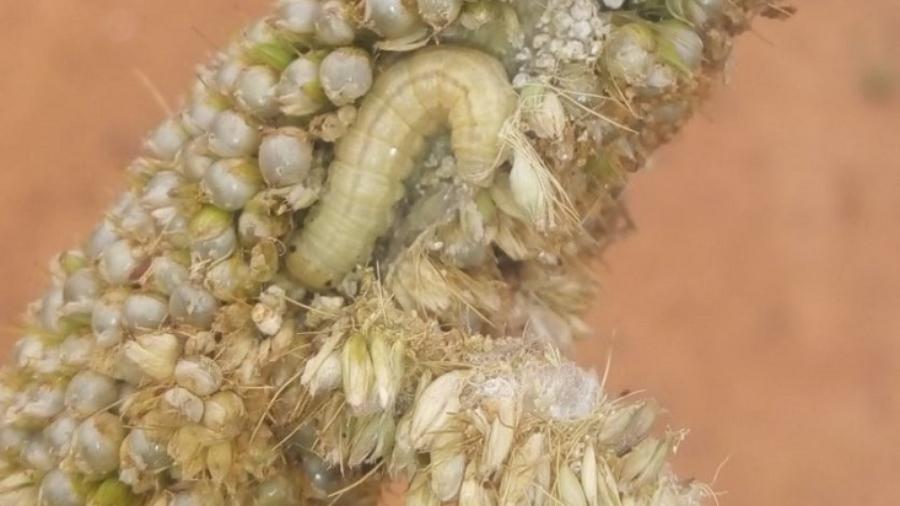 Heliocheilus albipunctella Damage