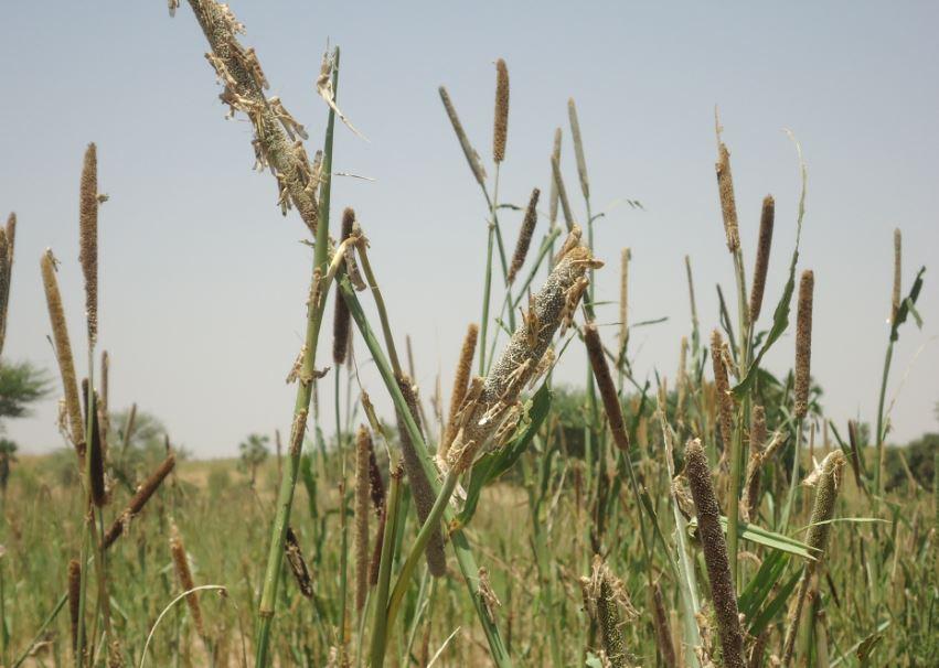 Essaim de criquet sénégalais sur épis de mil dans la région de Diffa