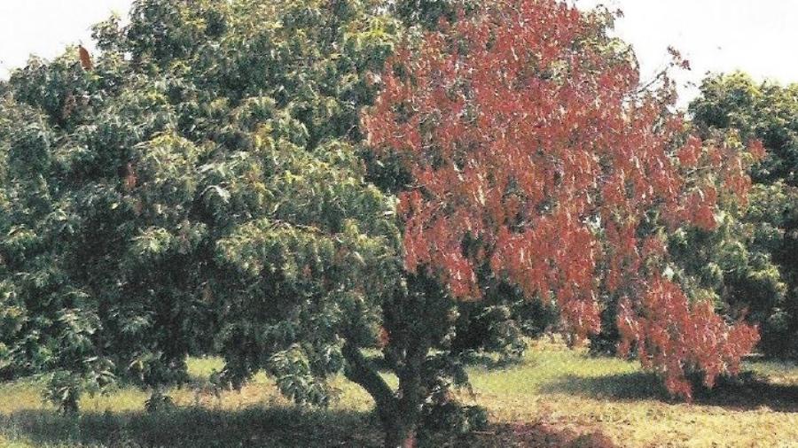 Gommose du manguier au Niger