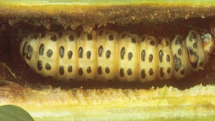 Le foreur de tige de mil (Coniesta ignefusalis)