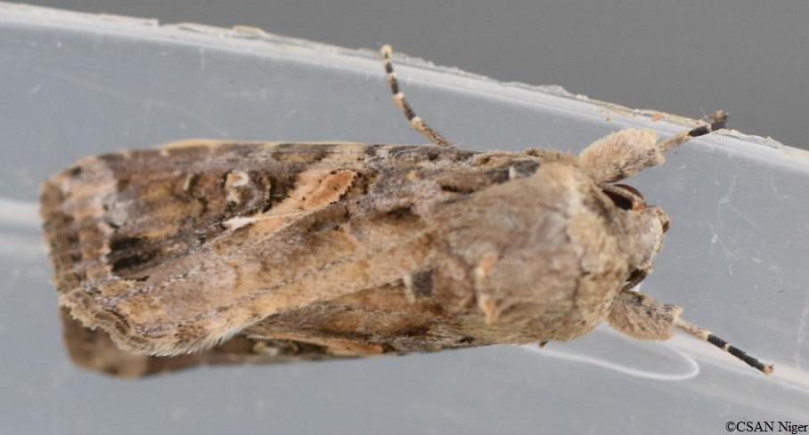 Papillon de Spodoptera frugiperda