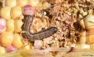 Larve de Spodoptera frugiperda sur epi de maïs