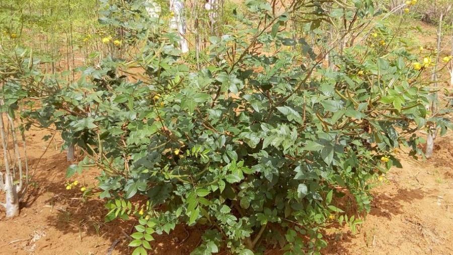 Plante de quiqueliba dans un champ situé dans le village de bitinkodji commune V de Niamey