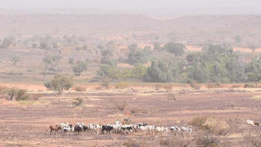 Troupeau de bovins à la recherche de pâturage en milieu aride au Niger