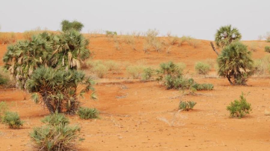 Plants de phœnix en plein sol soumis à la pression de l'érosion éolienne