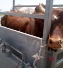 Commercialisation du bétail filière betail de Maradi