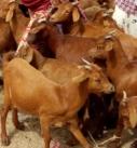 Des femmes exposant des chèvres rousses de Maradi aux marché
