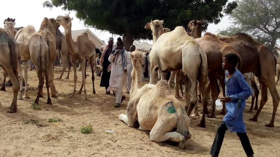 Troupeau de chameaux dans un marché dans la région de Maradi