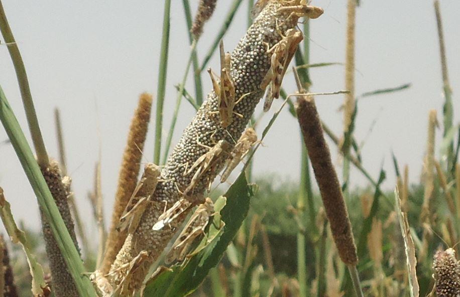 Essaim de criquet sénégalais consommant les graines et les feuilles de mil dans la région de Diffa