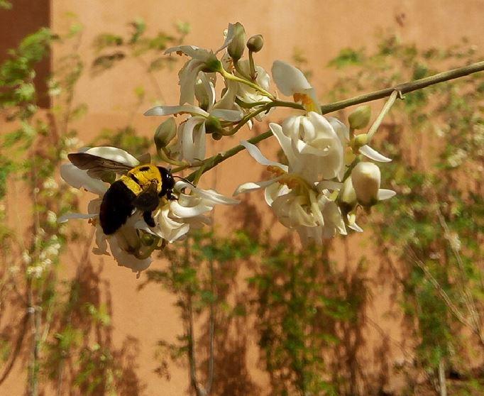 Insecte pollinisateur sur fleur de moringa
