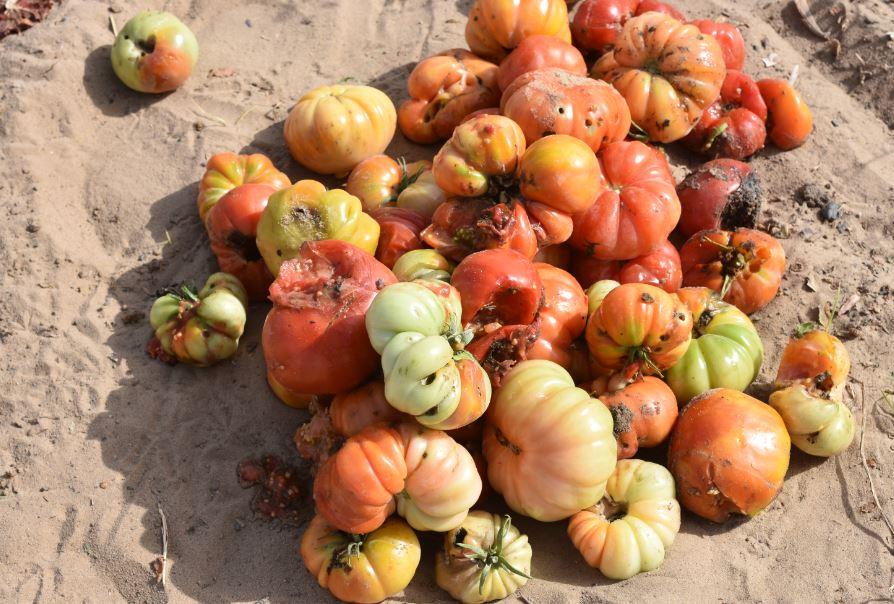 Degats de la noctuelle de la tomate sur fruits de tomate