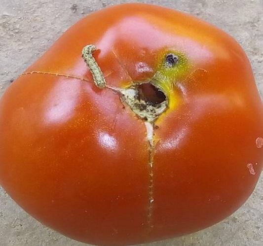 Trous et geleries de la noctuelle de la tomate à proximité du pédoncule