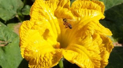Abeille visitant une fleur de citrouille