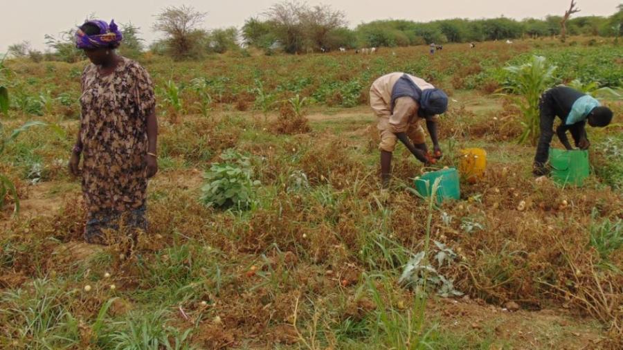 Des agriculteurs en train de recolter des tomates