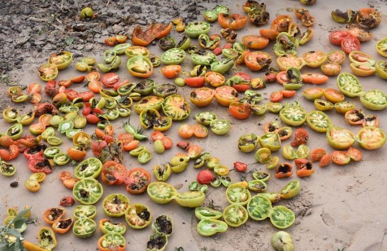 Des tomates épluchées après avoir été attaquées par la noctuelle de la tomate