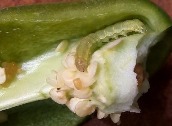 Larve de la noctuelle de la tomate dans un fruit de poivron