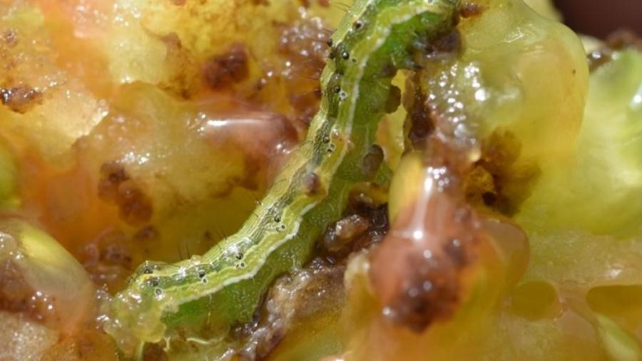 Larve d'helicoverpa armigera dans une fruit de tomate