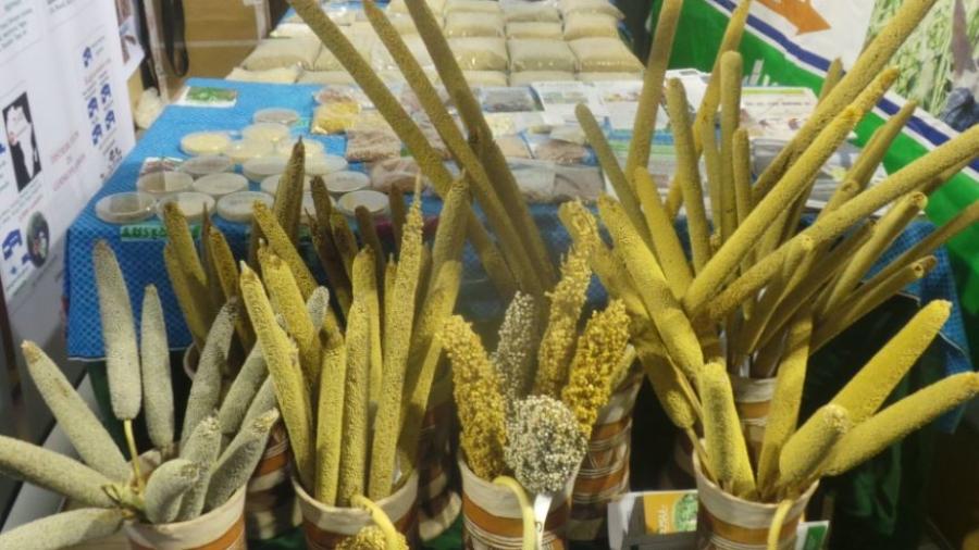 Semence de mil et de sorgho exposées au salon de l'agriculture