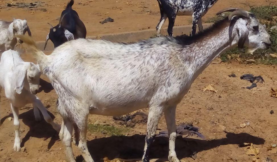 Chèvre du Sahel et ses petits en plein pâturage urbain