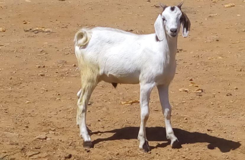 Jeune bouc de la race chèvre du sahel