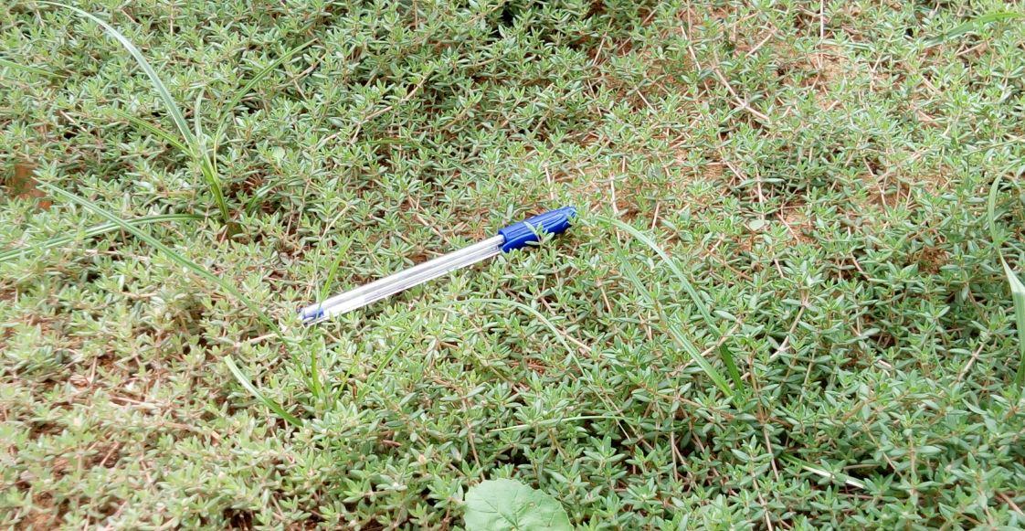 Tapis herbace de Portulaca quadrifida