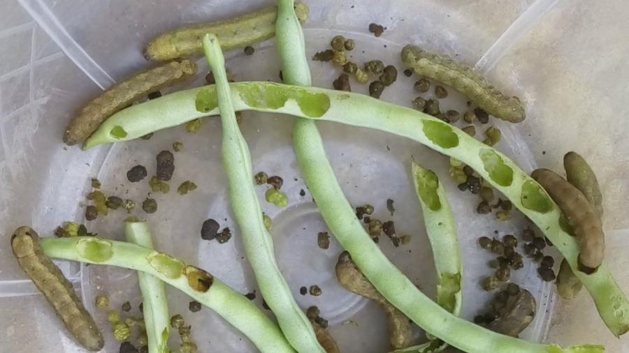 Dégâts des larves de Spodoptera littoralis élevées au laboratoire
