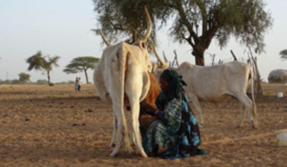 Opération de traite de lait par une femme