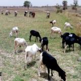 Bétail à la recherche de paturage dans le bassin du fleuve Niger