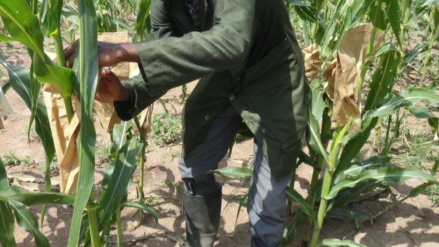 Etudiant entrain péparer les plants de maïs pour l'hybridation
