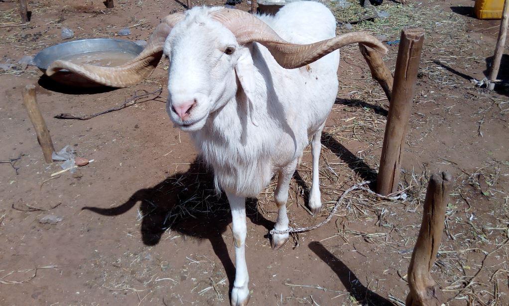 Mouton de la race Ara Ara au marché Turaku