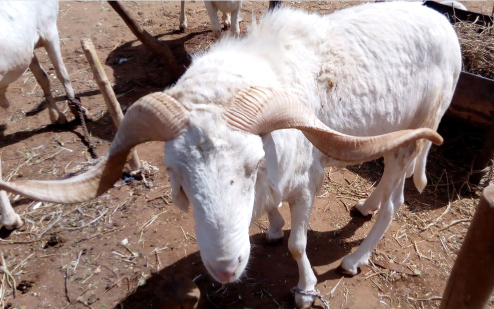 Mouton de la race Ara-Ara vue frontale