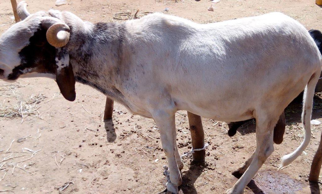 Mouton de la race Bali-Bali exposé au marche Turaku