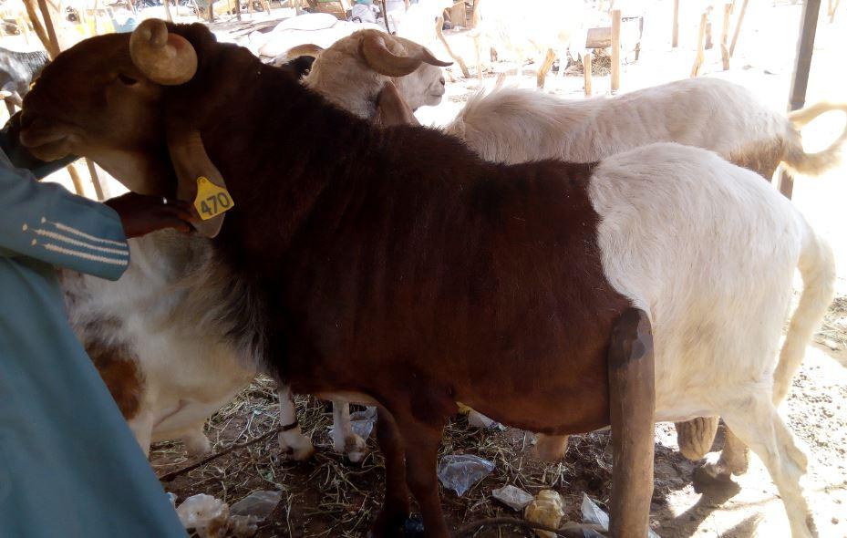Mouton de la race Oudah exposé au marché Turaku
