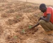 Promoteur observant des plants de moringa