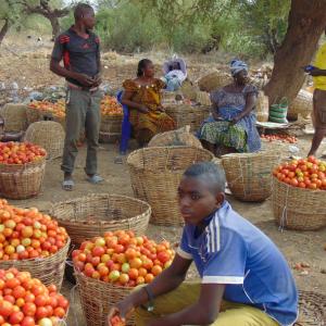 Tomates récoltées avant l'acheminement au marché