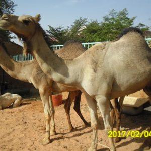 Dromadaire Yoria exposé au salon de l'agriculture à Niamey