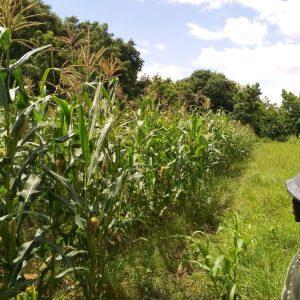 Champs de maïs à Torodi région de Tillaberi