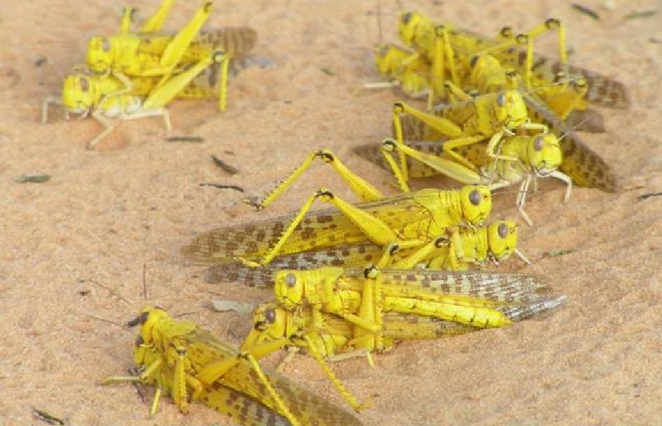 Adultes de criquet pélerin en phase daccoupplement dans le désert au Niger