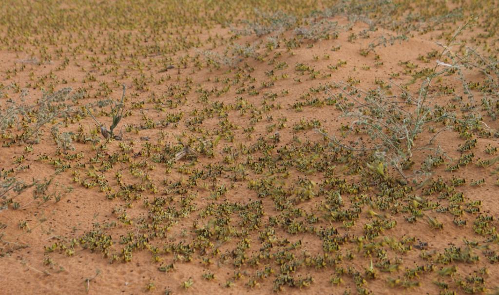 Larves du criquet pélerin dans le désert au Niger